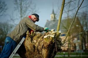Pollarding a willow A Rocha Zwolle (Rogier Bos) web